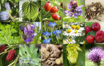 Самые эффективные травы и сборы для повышения потенции