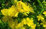 Растение зверобой: лечебные свойства для мужчин и их здоровья