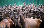 Влияние пантов Алтайского марала на организм