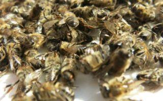 Народное лечение аденомы простаты пчелиным подмором