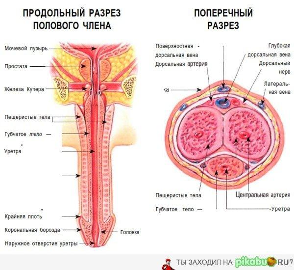 строение полового члена
