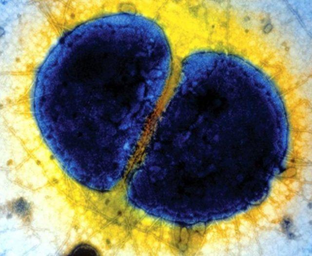 бактерии гонококки