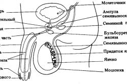 структура полового члена
