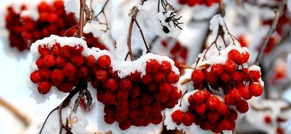 рябина в снегу