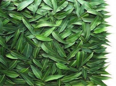 листья эквалипта