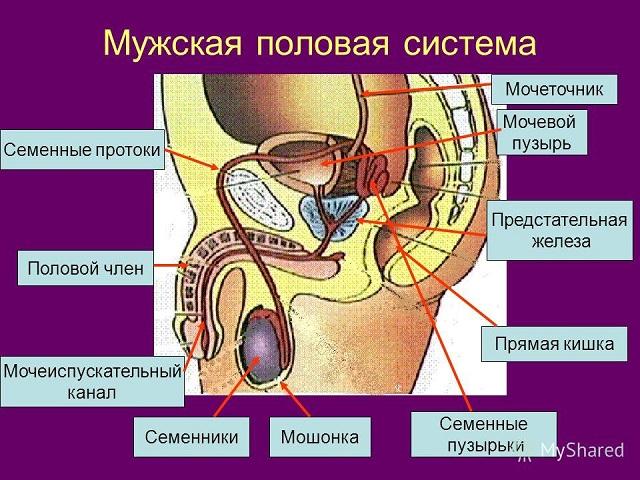 мужская мочеполовая система