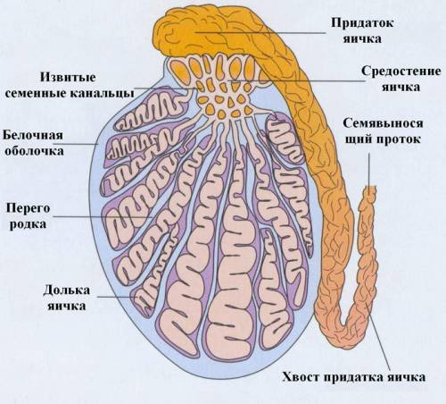 Анатомия яичка