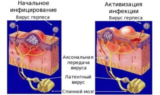 эпителий