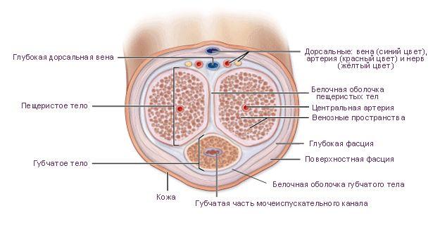схема пениса