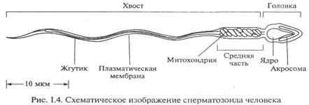 строение сперматозойда