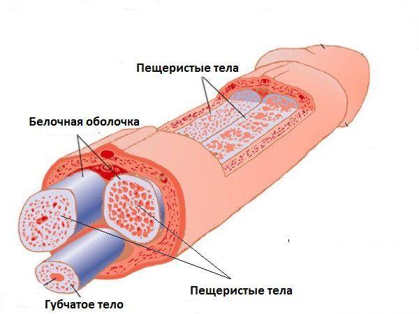 схема строения полового члена