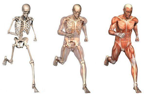 костно-мышечный аппарат