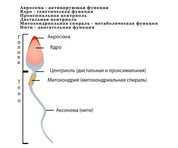 Расшифровка спермограммы - как расшифровать показатели качества спермы в спермограмме