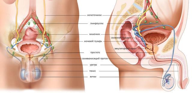 Где находится простата у мужчин и как ее найти: расположение и схема массирования железы - Смарт-Прост физиотерапевтический аппарат