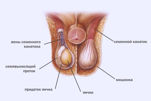Мужские яйца строение где сперма моему