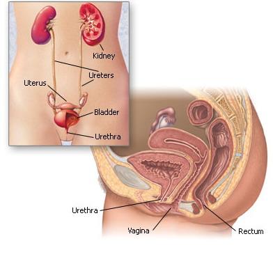 Строение уретры у мужчин фото