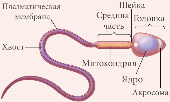 Плохая морфология спермограммы — Фертильность