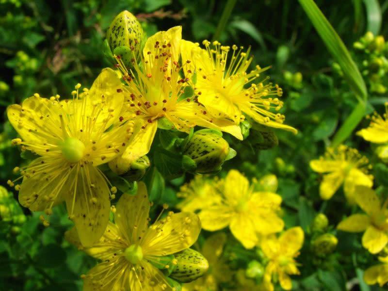 Зверобой трава - лечебные свойства и противопоказания для мужчин